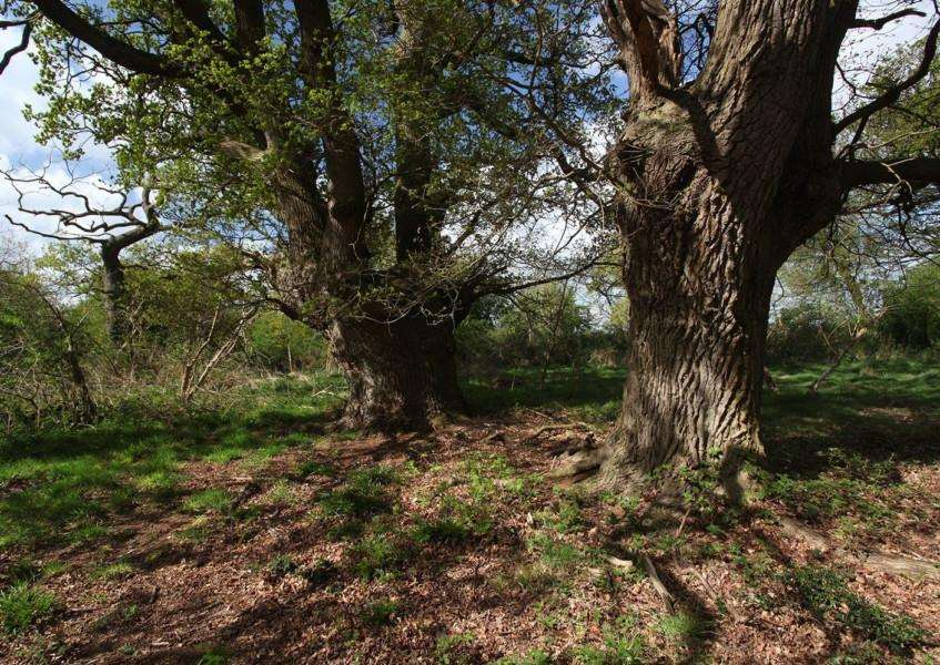 Veteran oaks at Old Broom county wildlife site near Risby. Picture: SWT/ Steve Aylward