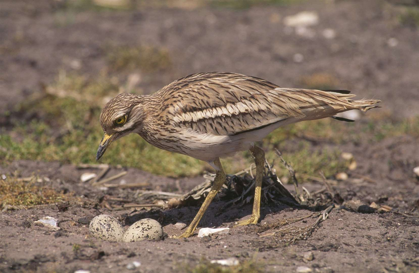 Stone curlew adult near nest and eggs, Breckland, Norfolk. Picture: Chris Gomersall RSPB (1975143)