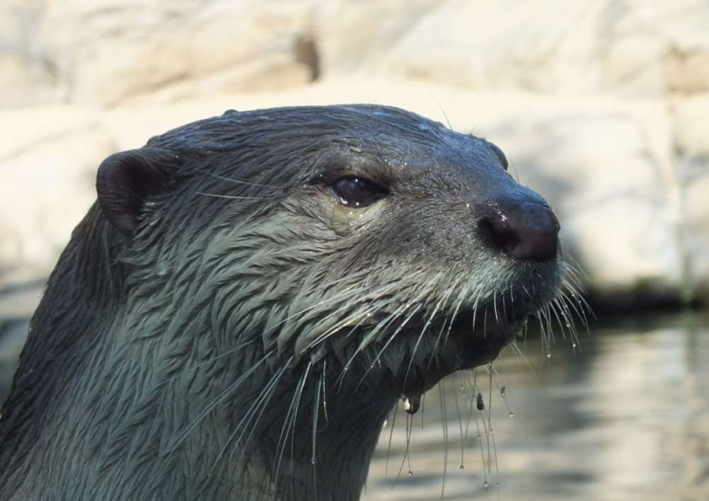 Otter at Colchester Zoo by Ian Holder ANL-150126-120531001