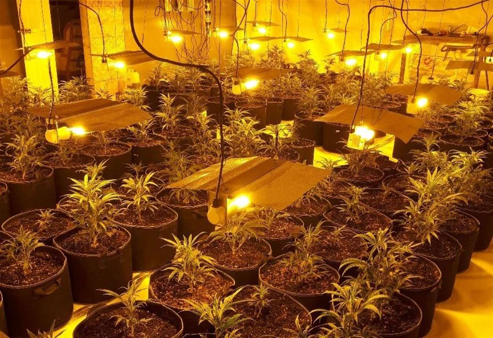 Police seize £600,000 of cannabis after raids on drug farms in Sudbury area