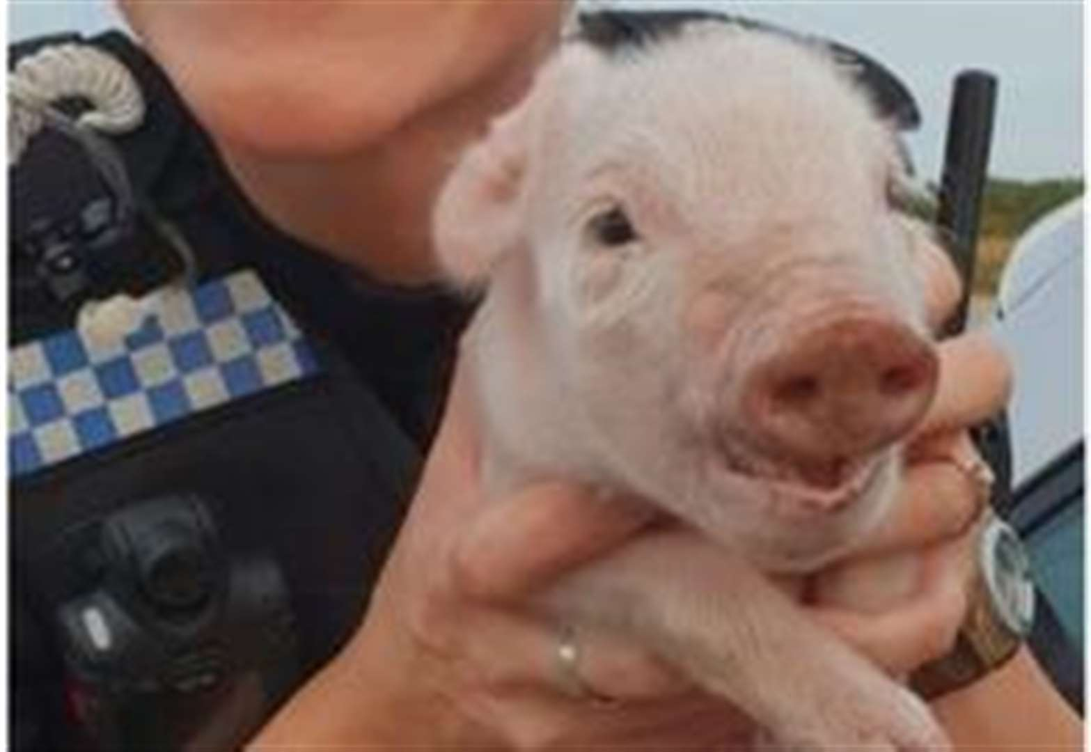 Thetford police help in getting little piggy all the way home