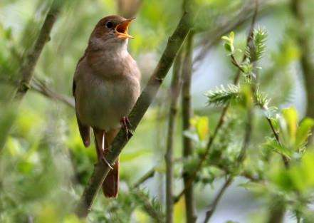Nightingale by Ian Goodall/SWT ANL-150704-101034001