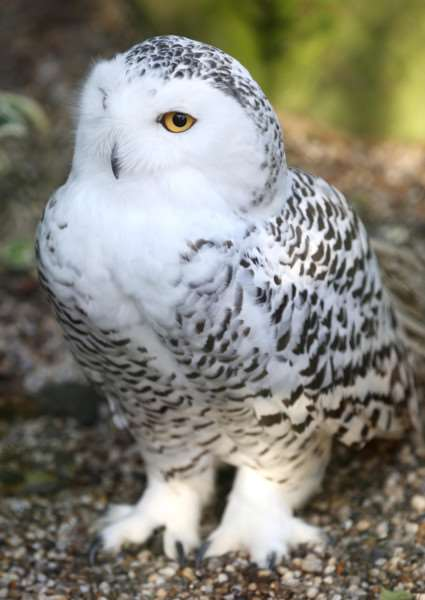 A Snowy Owl at the Christmas with Owls in the Land of Narnia ANL-151128-191444009
