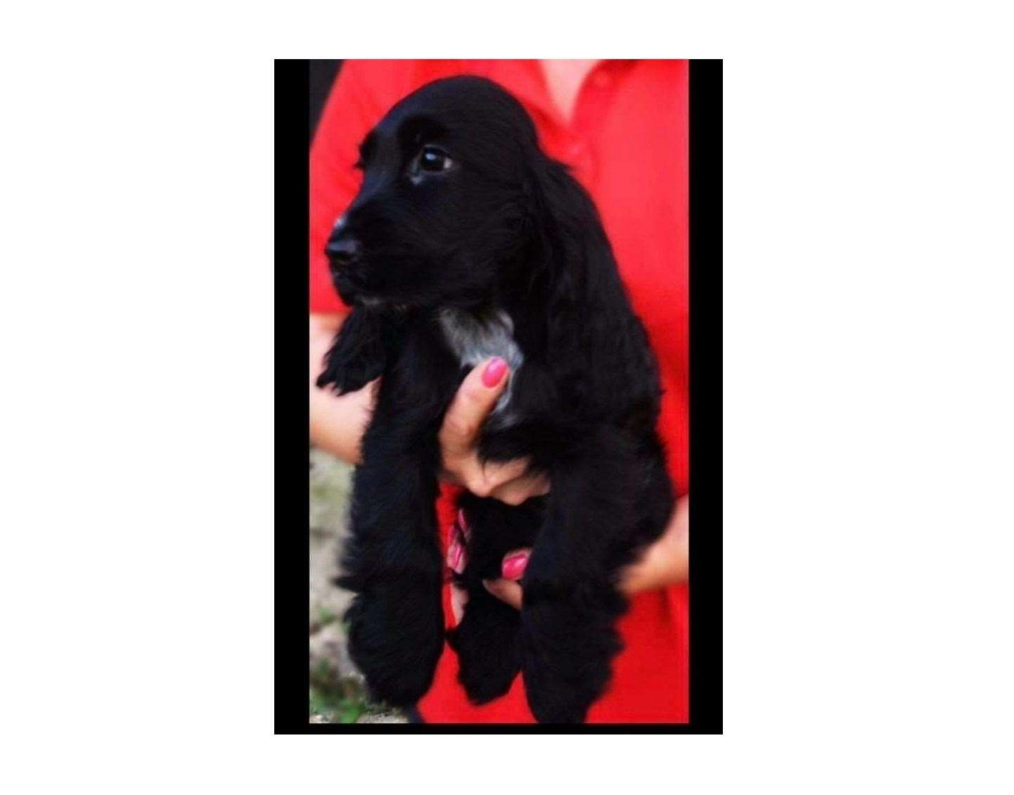 Cocker spaniel Penny was taken from an enclosed pen in Holywell Row