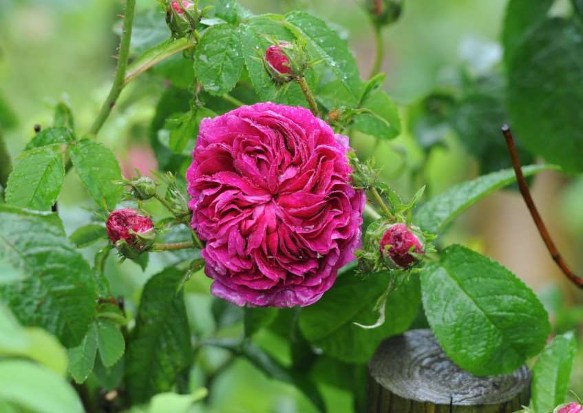 Major Iain grahame, owner of Daws Hall Nature Reserve, has some upcoming open days. He has 'one of the country's biggest selections of roses' ''Pictured: Rose 'Charles De Mills' (c.1800)'''PICTURE: Mecha Morton
