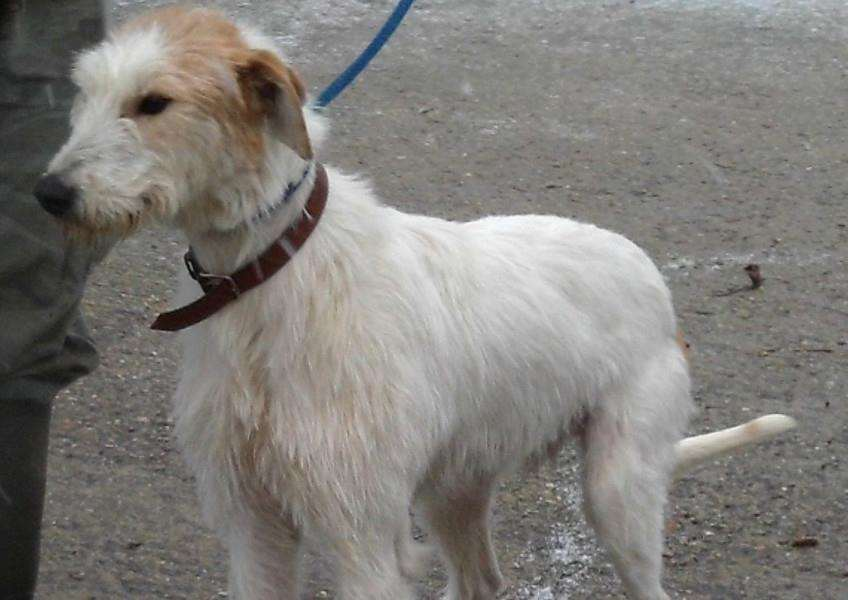 Alfred is a male lurcher who needs a new home. He is currently being looked after by West End Farm Kennels in Buxhall