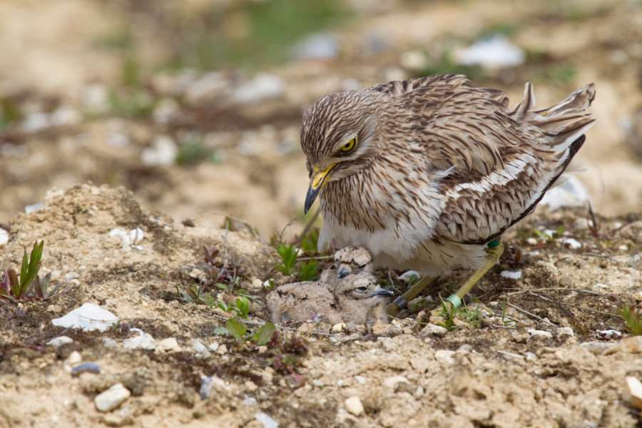 Stone curlew and chicks'Picture by Chris Knights ANL-140528-171148001