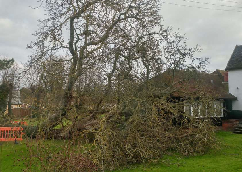 A walnut tree came down this morning in the grounds of Milton House, the home of Stowmarket Town Council'Picture: Patrick Roberts