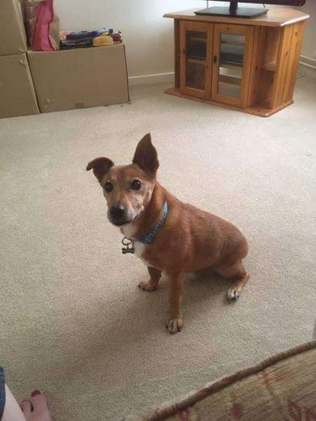 Ben, the 13-year-old Jack Russell cross whose owner needs help to take for a walk (3427435)