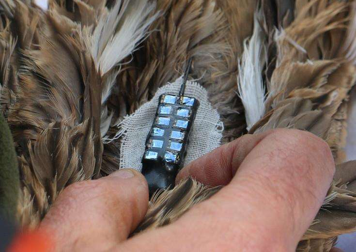 GPS fitted to a stone curlew'RSPB/Rob Hawkes ANL-161008-152406001