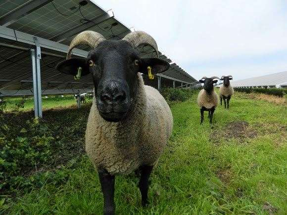 Sheep graze at the Toggam Farm solar farm site (36041776)