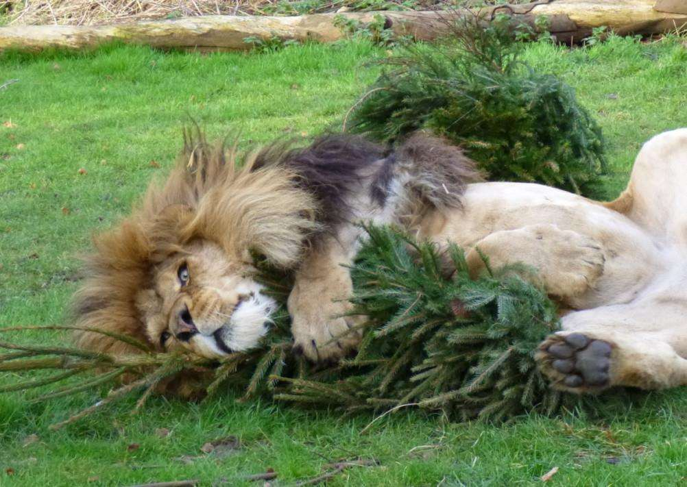 Zuri, an African lion, with his Christmas tree