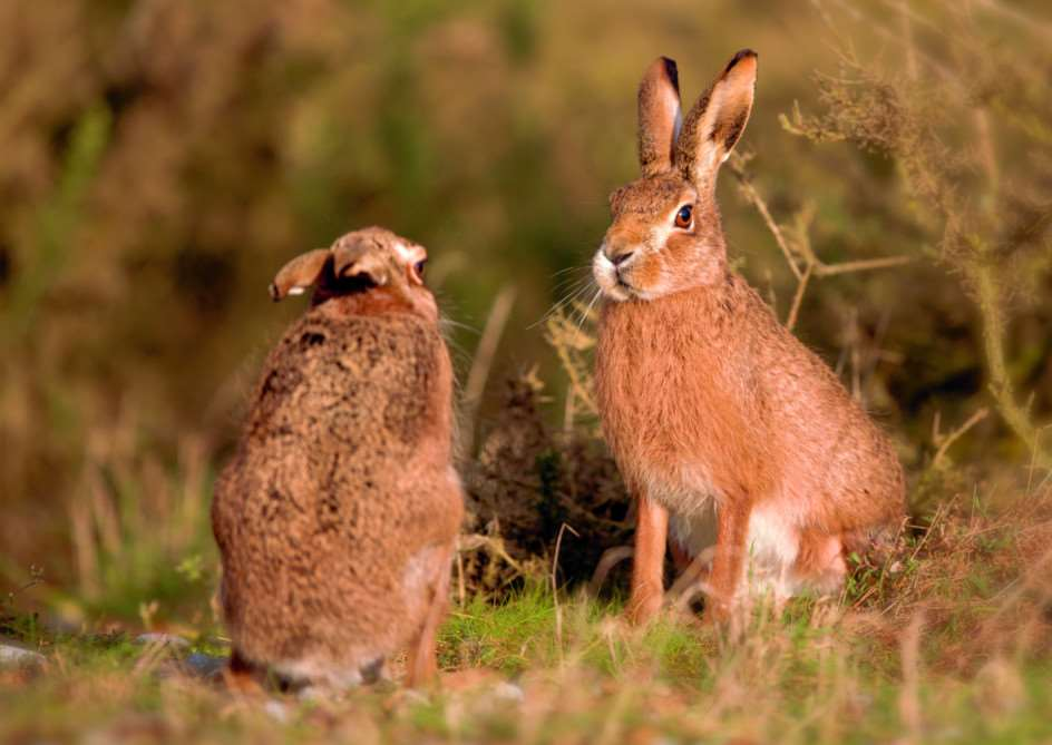 The March Hare Collective are holding a Spring Shop and gallery at the Apex in Bury St Edmunds on March 7. Everyone who attends can enter a free prize draw to win this photo of hares by photographer Peter Bultz. ANL-150225-171613001
