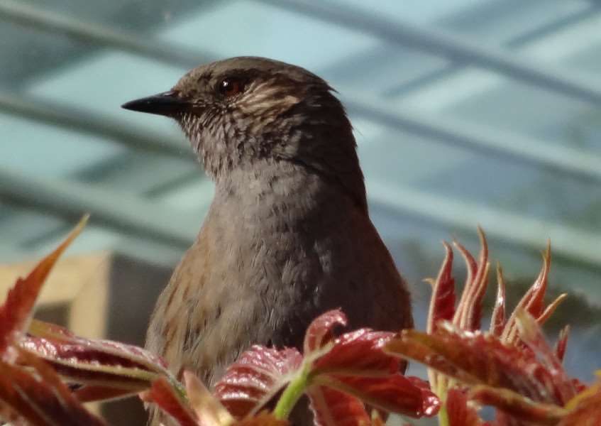 Dunnock by Robert Lawson ANL-160516-170001001