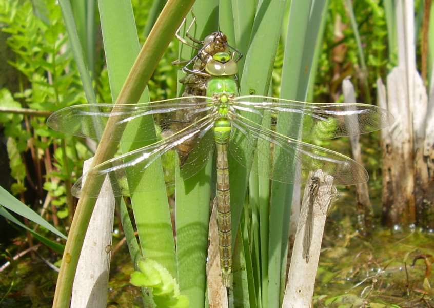 An emperor dragonfly emerges at Lakenheath Fen''Picture RSPB/Katherine Puttick ANL-160725-153948001