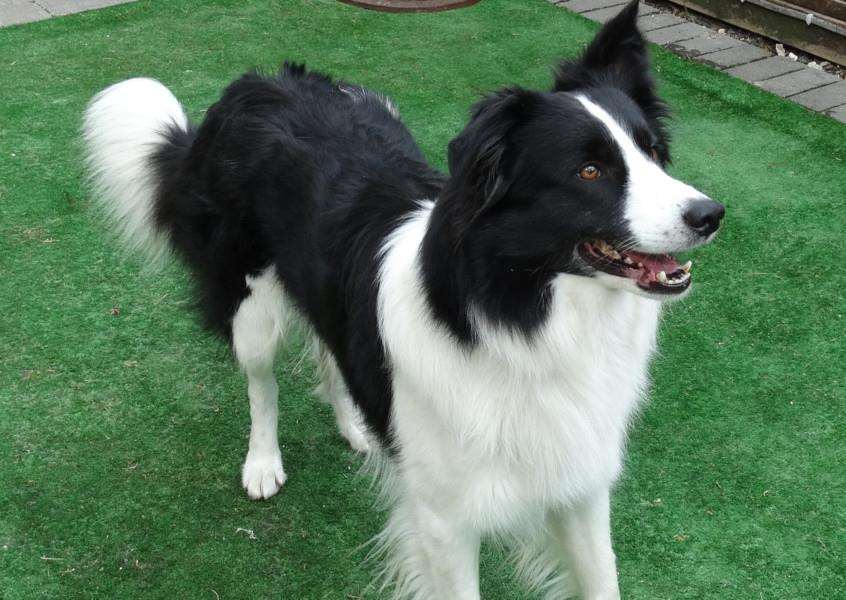 Jed is a border collie who is being looked after by West Suffolk RSPCA and would love a new home