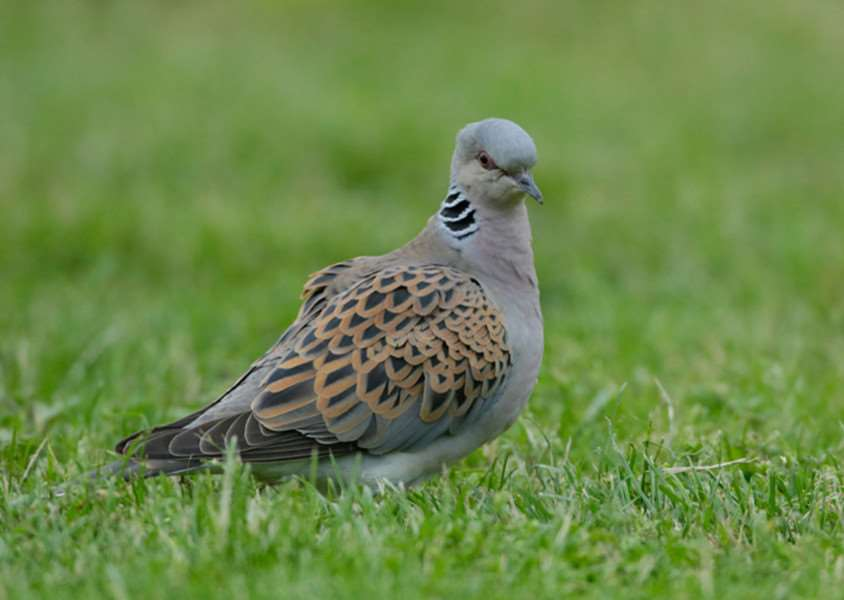 Turtle doves are so called because their back pattern looks like tortoiseshell'''Picture: Andy Hay, rspb-images.com. ENGPPP00120130515163830