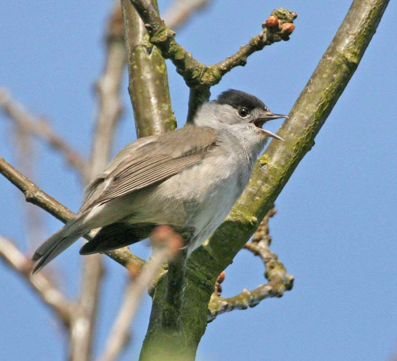Blackcap singing (46130628)