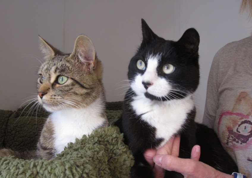 Saff and Pepsi are two cats being looking after by Bury St Edmunds Cats' protection