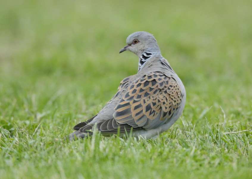 Turtle dove'Picture: Andy Hay (rspb-images.com) ANL-151029-152456001