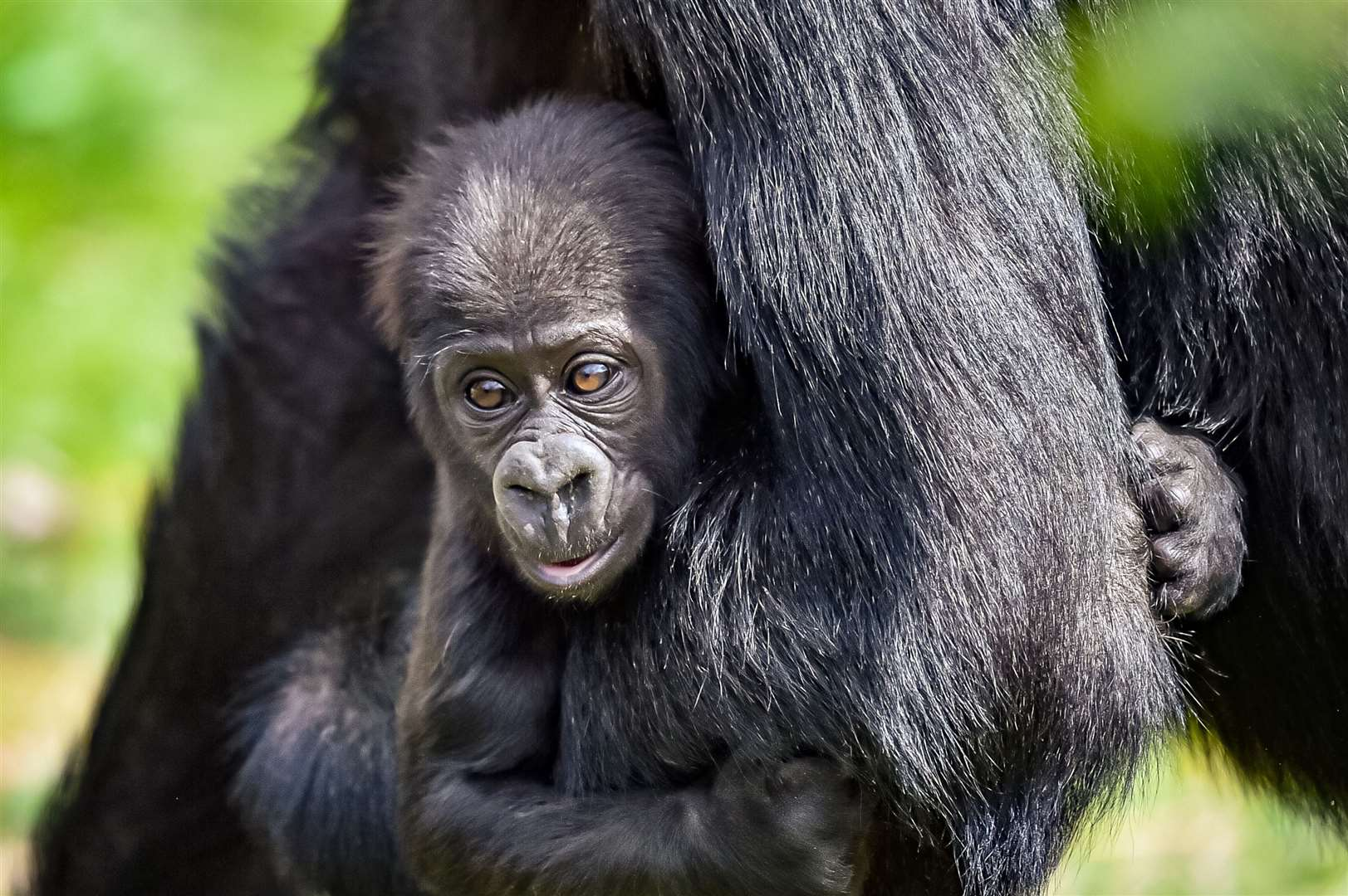 The baby gorilla will soon be learning how to walk and crawl (Ben Birchall/PA)