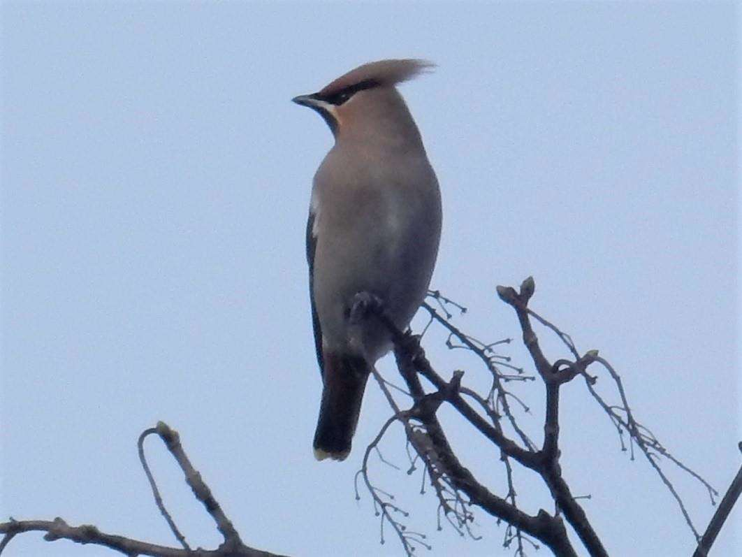 Waxwings are slightly smaller than a starling and have a prominent reddish-brown crest with a black throat.