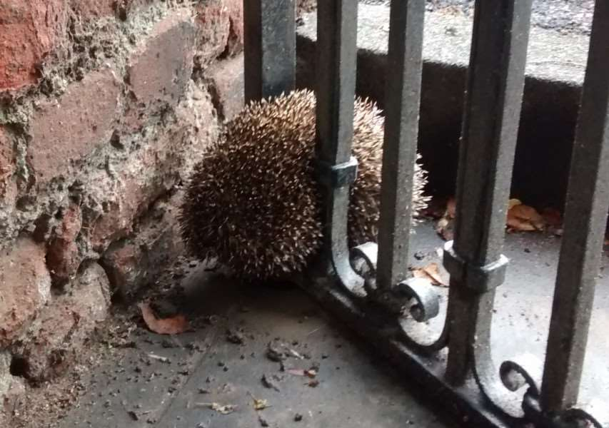 This Hedgehog got himself in a prickly predicament after getting stuck in this Newmarket gate