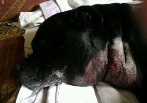 This Staffordshire Bull Terrier has the signs of Alabama Rot which pet owners are being warned about