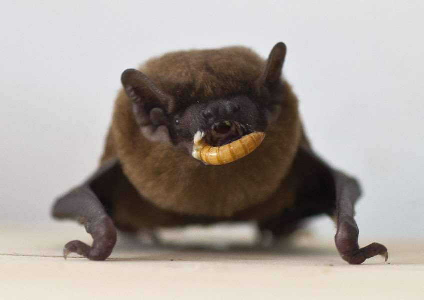 The Noctule bat eating a mealworm ANL-150526-163050009