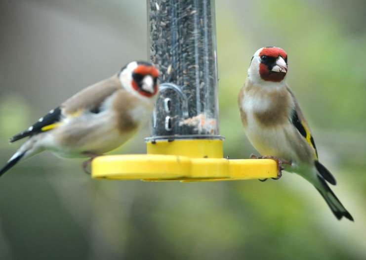 Goldfinch numbers are down in Suffolk. ENGANL00120130429111819