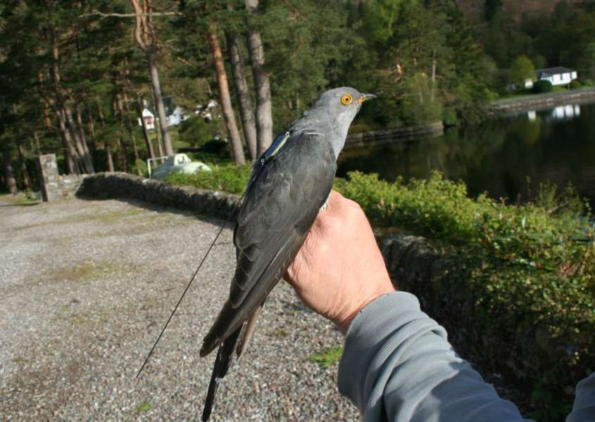 A cuckoo wearing a BTO satellite tag