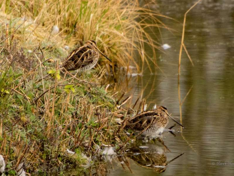 Two snipe