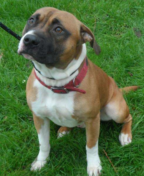 Rocco is being looked after at West End Kennels Buxhall and is this week's stray