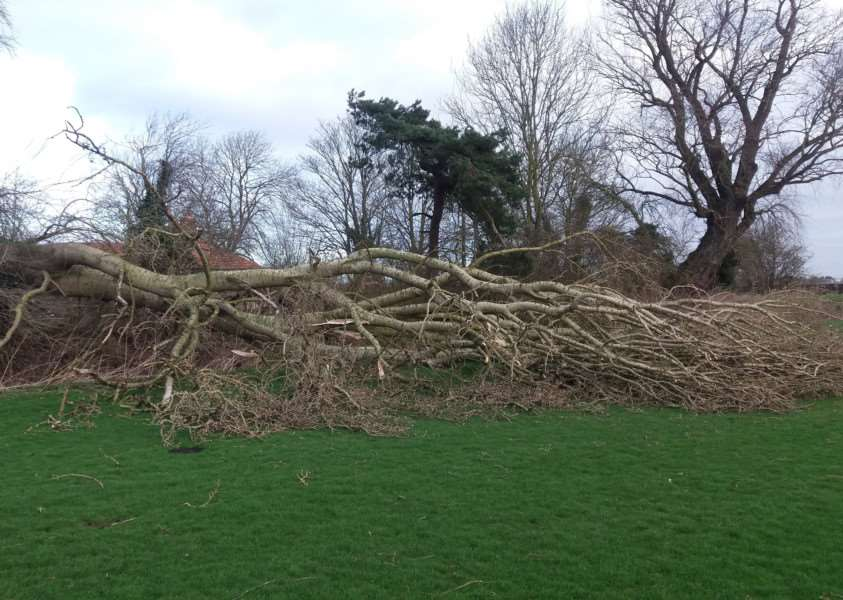 A large white poplar tree became part of Storm Doris's trail of damage near West Row