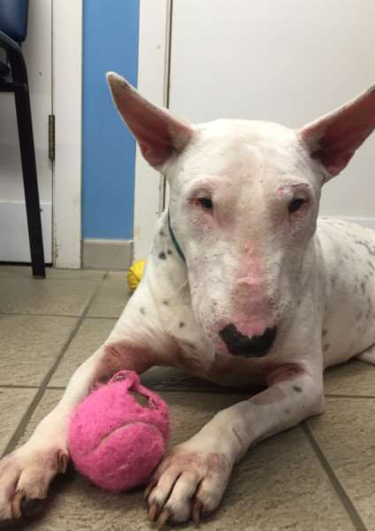 Eric the English bull terrier since his recovery and tooth being removed. (Photo: SWNS.com)