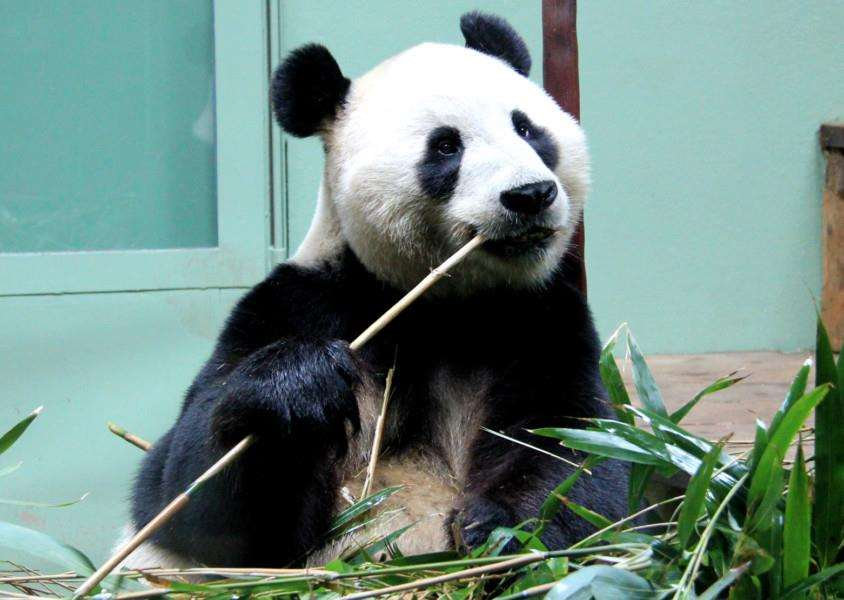Panda at Edinburgh Zoo by Karen Roe ANL-150211-125002001