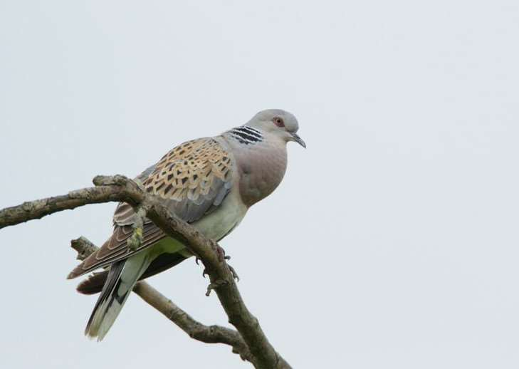 One of the turtle doves