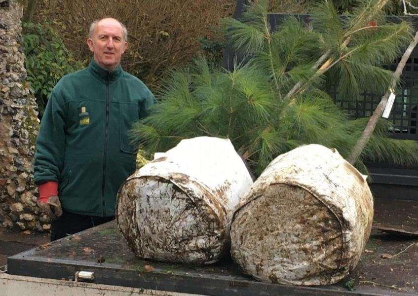 Steve Moore, a gardener at the Abbey Gardens with the Weymouth Pine.