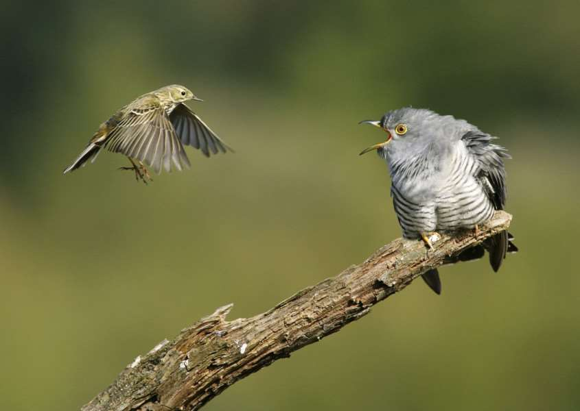 Cuckoo (Cuculus canorus) mobbed by meadow pipit. Picture: Edmund Fellowes/BTO