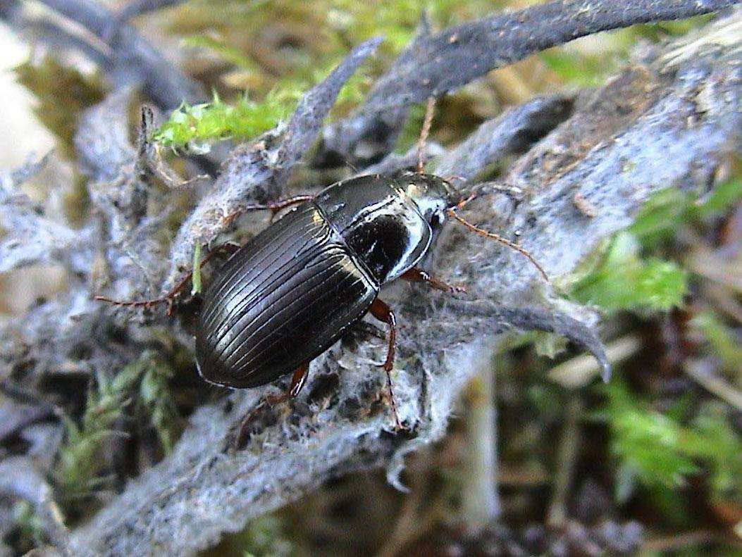 Wormwood moonshiner beetle (Amara fusca) which depends on the Brecks wormwood plant for its food. Picture by John Walters (3683219)