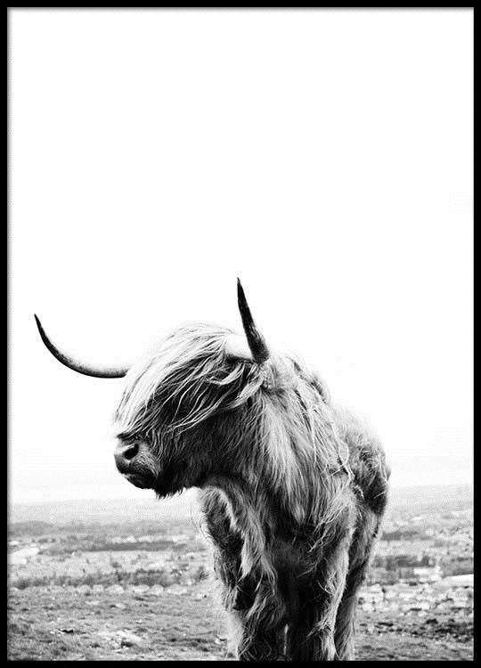 Highland cow poster (37187953)