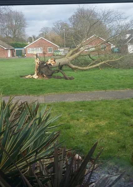 Tree down at The Croft, Bardwell. Picture submitted by Nikki Oakley.