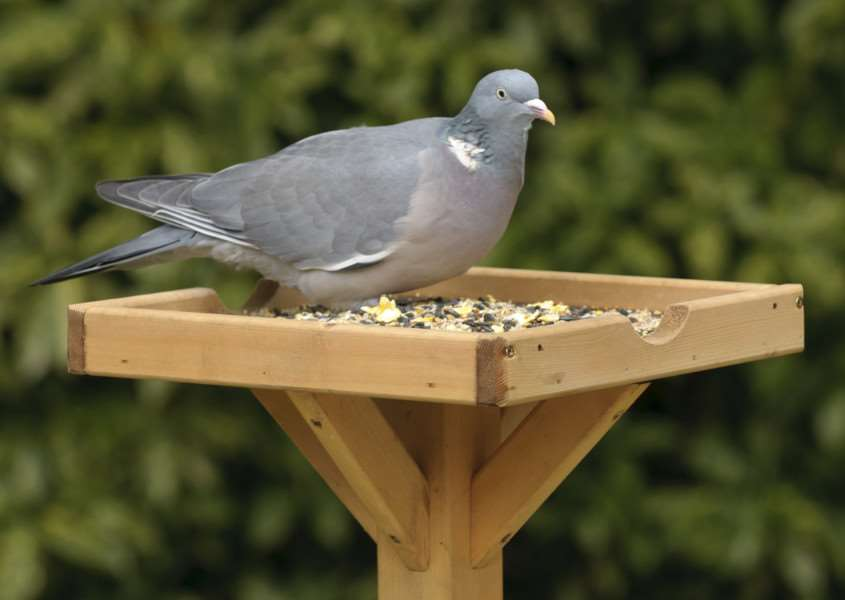 Woodpigeons were the most common birds at schools in Suffolk last year' Picture: Chris Gomersall (rspb-images.com)