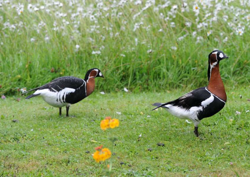 Major Iain grahame, owner of Daws Hall Nature Reserve, has some upcoming open days. He has 'one of the country's biggest selections of roses' ''Pictured: Russian Red Breasted Geese (A species that is endangered)'''PICTURE: Mecha Morton