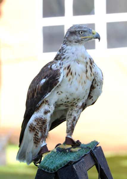 Birds of Prey and crafts at Bury Cathedral''Pictured: Ferruginous Hawk ANL-160823-152135009