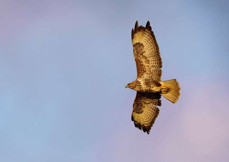 Buzzards have been targetted in Suffolk and Norfolk'RSPB image