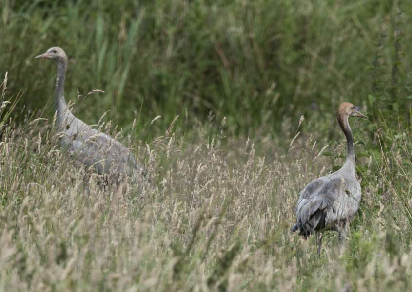 Young cranes at Lakenheath Fen'RSPB/Dave Rogers