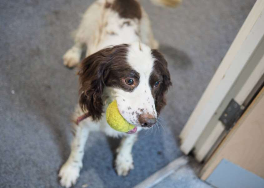 Suffolk Police springer spaniel Zuma enjoys a game with his favourite tennis ball after successfully finding the drugs hidden by PC Tony Russell