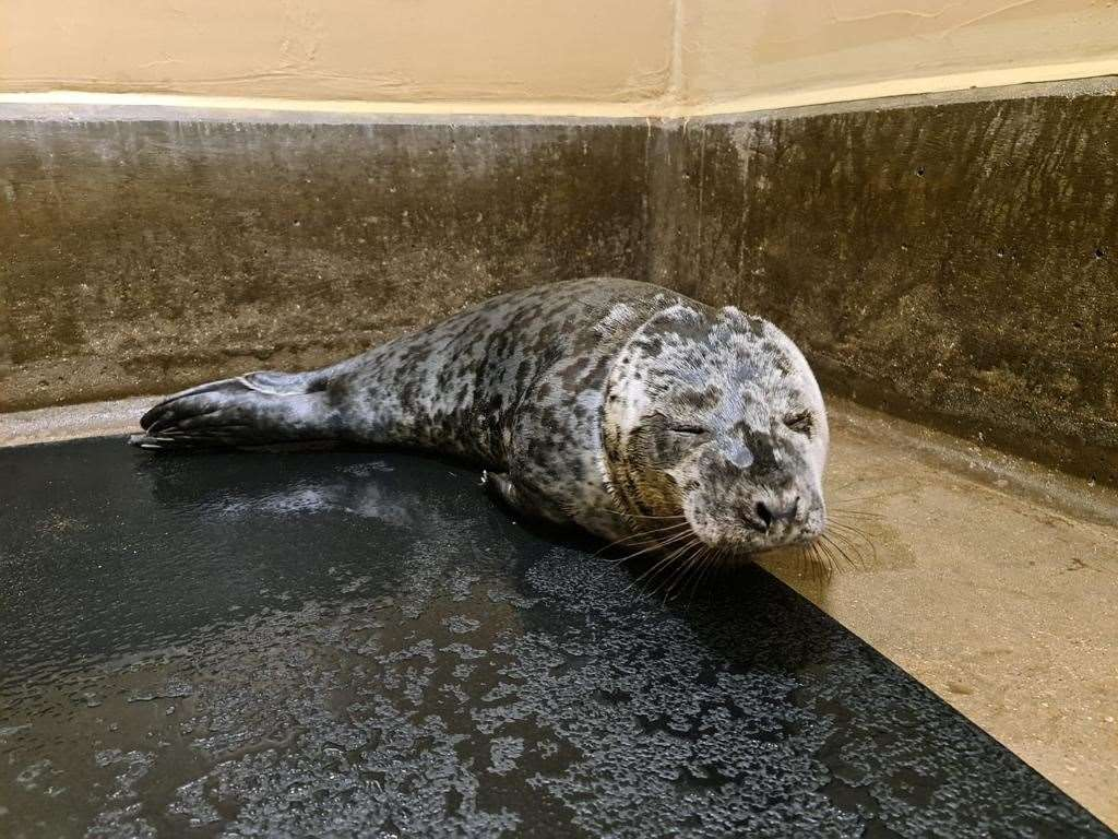 Gnocchi the seal is recovering at the RSPCA East Winch Wildlife Centre after the plastic was removed from his neck (RSPCA/PA)