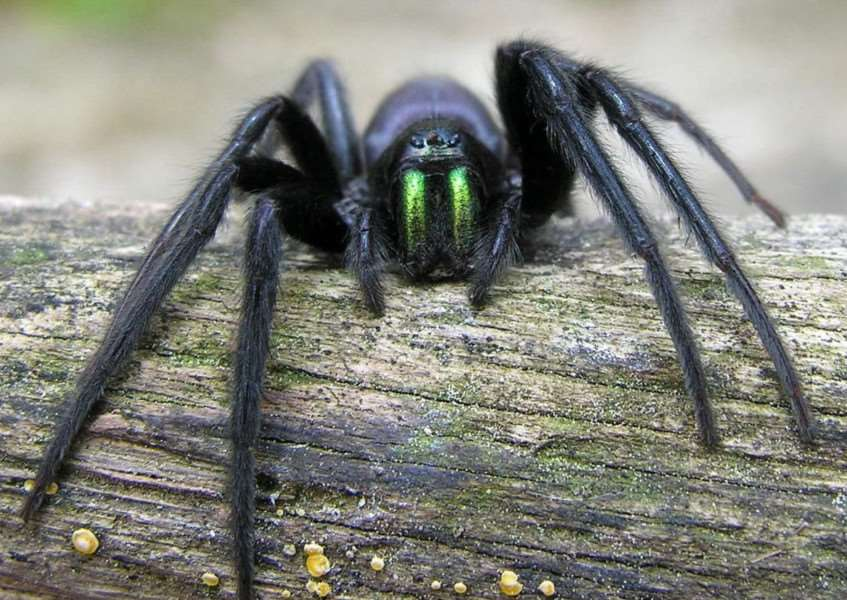 Green fanged spider